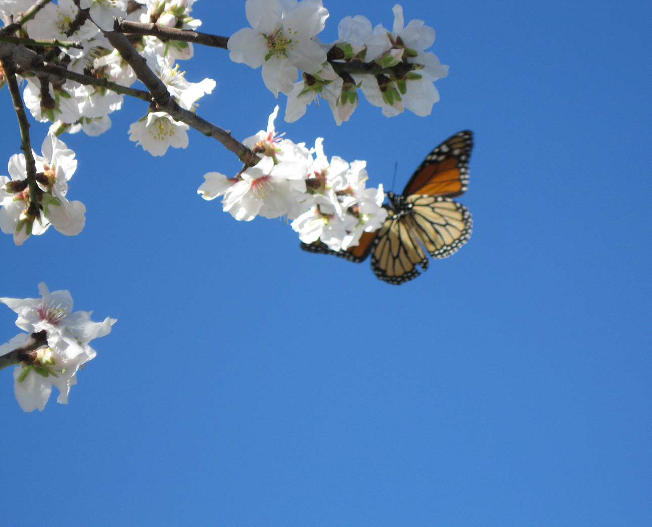 Butterfly on Almond Blossom